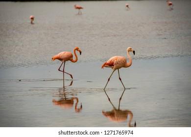 FLOREANA ISLAND, GALAPAGOS - OCT 25, 2018 :  FLAMIGO IN LAGOON