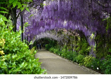 Florence, April 2019: Beautiful purple wisteria in bloom. blooming wisteria tunnel at Bardini garden near Piazzale Michelangelo in Florence, Italy.