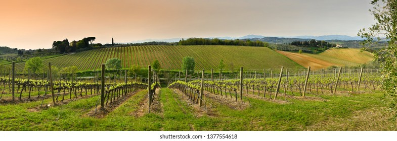 Florence, April 2019: Beautiful young green vineyard at sunset near Mercatale Val di Pesa (Florence), Italy.