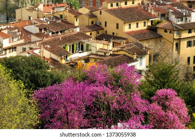 Florence, April 2019: Purple flowering trees at Bardini Garden in Florence, Italy.
