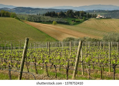 Florence, April 2019: Tuscany landscape of beautiful young green vineyards near Mercatale Val di Pesa (Florence) in spring season. Tuscany, Italy.