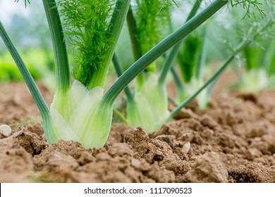 Florence or bulbing fennel. Gardening  background with Fennel Bulb.  Annual fennel, Foeniculum vulgare azoricum in garden bed.