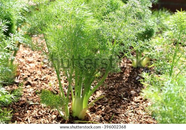 Florence fennel herb garden