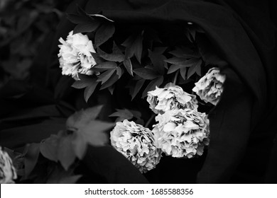 Florence, Italy, March 2020. Still life of peony flowers. Out of focus and grain are part of the image.