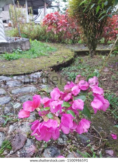 Flores Rosas Naturales Y Bonitas Stock Photo Edit Now