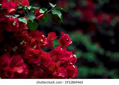 Flores silvestres rojas sobre fondo verde oscuro desenfocado, imagen de invierno, elegante imagen ,Red wildflowers