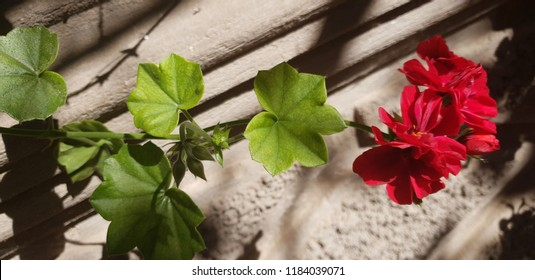 Flori de casa