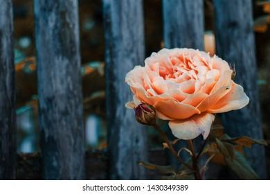 Floribunda, A apricot fragrant Flower or apricot floribunda Montana, or jude the obscure rose.