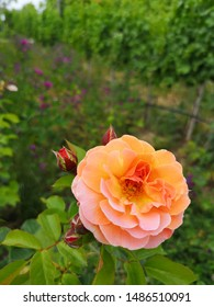 Floribunda is a modern group of garden roses that was developed by crossing hybrid teas with polyantha roses, the latter being derived from crosses between Rosa chinensis and Rosa multiflora