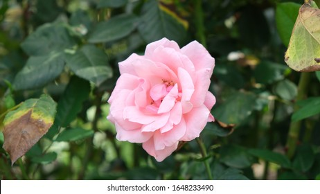 Floribunda Roses are a modern group of garden roses that was developed by crossing hybrid teas with polyantha roses, the latter being derived from crosses between Rosa chinensis and Rosa multiflora.