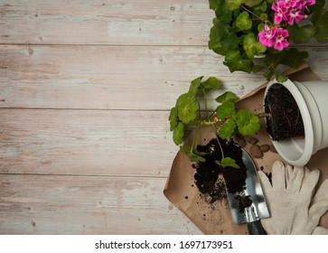 Floriculture. A border of pelargonium with pink flowers, a pot, expanded clay, work gloves and a scoop of earth on a light wooden background. Free space.