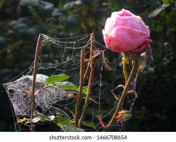 Floriculture, diseased bud of a pink rose entangled with cobwebs on a blurred natural background of a garden vegetable garden. Spider mite, wilting, autumn. Pruning rose bush, outdoors close-up.
