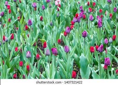 Floriculture fields of tulips. Flower business. Vivid pink and purple tulips