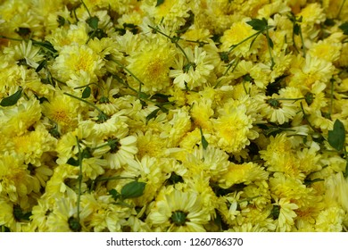 floriculture  Fresh yellow Indian flowers background.