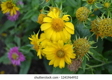 Floriculture. Heliopsis helianthoides. Perennial. Similar to the daisy. Garden. Flowerbed. Yellow cute flowers. Large flowers bushes. Horizontal