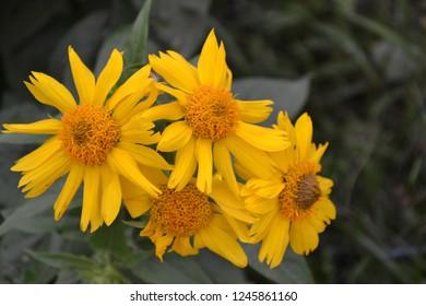 Floriculture. Heliopsis helianthoides. Perennial. Similar to the daisy. Horizontal photo