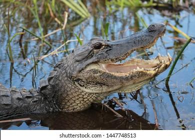 Florida alligator in the Everglades