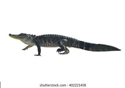 Florida Alligator Isolated on White Background