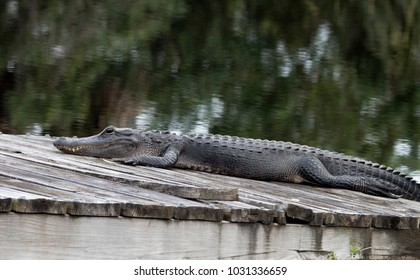 Florida alligator resting on a wooden dock against water and green trees.