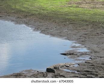 Florida Alligators at Hawthorne Trail