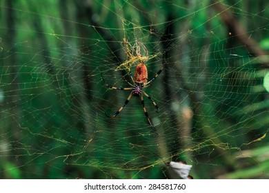 Florida Banana Spider