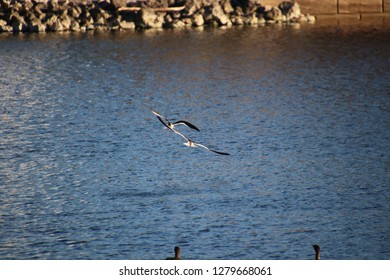 Florida black skimmer bird swooping and diving over turquoise blue water fishing for food.