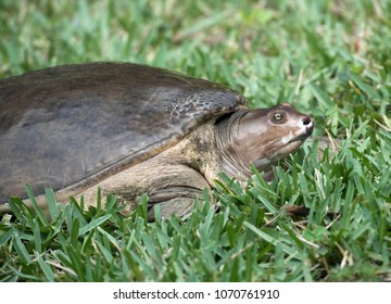 Florida brown fresh water softshell turtle with yellow and black eyes on green grass.