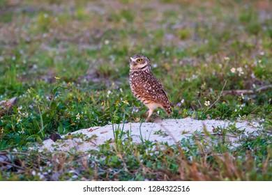 Florida burrowing owl (Athene cunicularia floridana) on nest/burrow - Pembroke Pines, Florida, USA