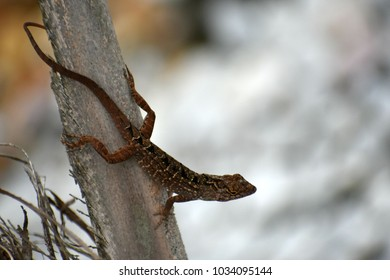 Florida chameleon on branch