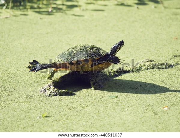 Florida Cooter on a log in Florida wetlands