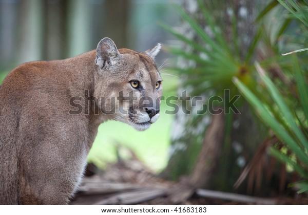 Florida Cougar focuses on danger