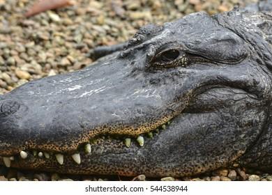 Florida Gator Smile
