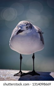 Florida Laughing Gull bird in Clearwater, Florida