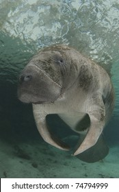 Florida manatee hovers in the spring water of Crystal River, Florida.