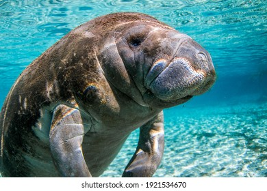 Florida Manatee from the springs in Florida.