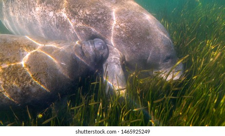 A Florida Manatee (Trichechus manatus latirostris) calf nurses at its mother's side. West Indian Manatees are related to elephants. Their status was changed from endangered to threatened in 2017.