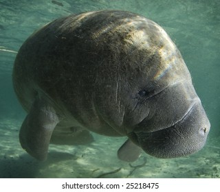 A Florida manatee (Trichechus manatus latirostrus) shows his good side in the springs of Crystal River, Florida