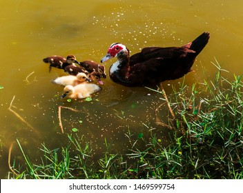 Florida Muscovy Duck swiming on a lake of a public park with five ducklings. Mother Muscovy Duck with her 5 ducklings.