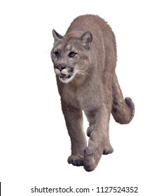 Florida panther or cougar digital painting on white background