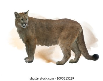 Florida panther or cougar watercolor painting