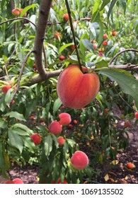 Florida peach on the tree.