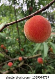 Florida peach on the tree, April 2019