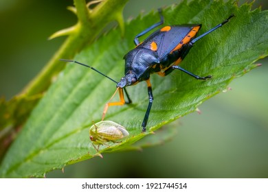 A Florida Predatory Stink Bug (Euthyrhynchus floridanus) feasts on a treehopper. Raleigh, North Carolina.