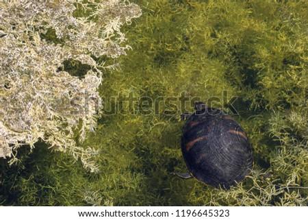 Asian taiga turtles