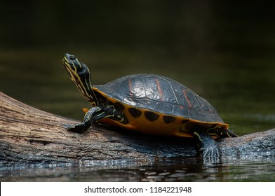 A Florida red-bellied cooter turtle, basking in the sun on a log in Juniper Springs, Florida.
