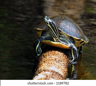 Florida Redbelly Turtle - Pseudemys Nelsoni