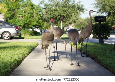 Florida Sandhill Crane on road