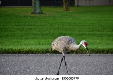 a Florida sandhill crane in timber pines .