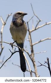 Florida Scrub Jay Sentinel (Aphelocoma coerulescens)