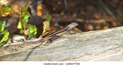 Florida Scrub Lizard (Sceloporus woodi) rests on a log in central Florida